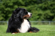 Berner Sennehund