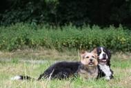 Terrier und Berner