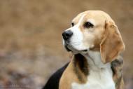Beagle Lisa